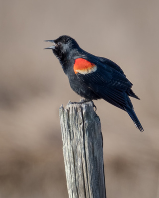 Red-winged Blackbird #20A_1517