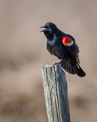 Red-winged Blackbird #20A_1528