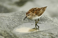 SANDPIPERS: Least Sandpipers