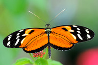 Longwing, Tiger (Heliconius ismenius)