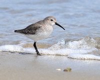 SANDPIPERS: Dunlin Sandpipers