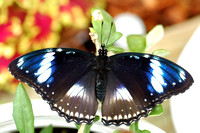 Great Eggfly Butterfly (Hypolimnas bolina)