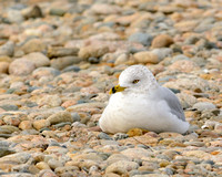 GULLS: Ring-billed Gull