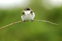 SWALLOWS: Tree Swallow (Fledgling)