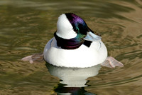 DUCKS: Bufflehead