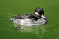 DUCKS: Bufflehead Duck