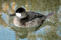 DUCKS: Ruddy Duck