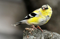 FINCHES: American Goldfinch