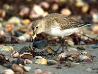 SANDPIPERS: Dunlin