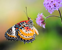 Lacewing Butterfly (Cethosia biblis)