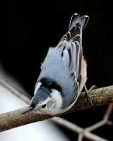 NUTHATCHES: White-breasted Nuthatch