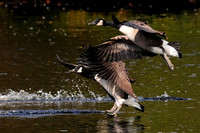GEESE: Canada Goose