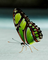 Green Longwing (Philaethria dido)