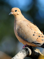 DOVES: Mourning Dove