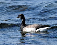 GEESE: Brant Goose
