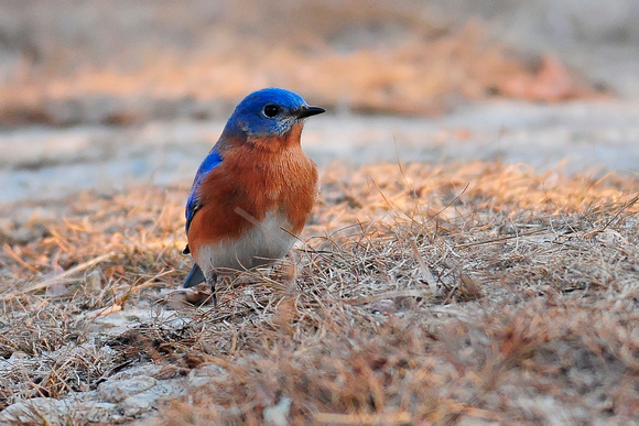 BLUEBIRDS: Eastern