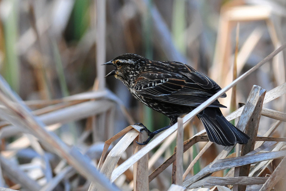 BLACKBIRDS: Red-winged Blackbird (female)