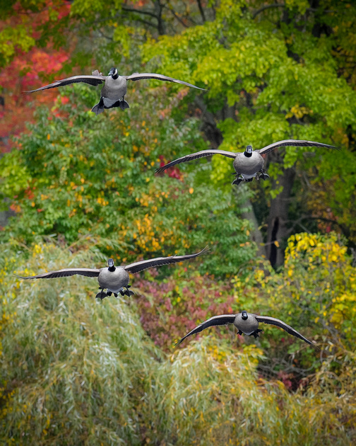 GEESE: Canada Geese