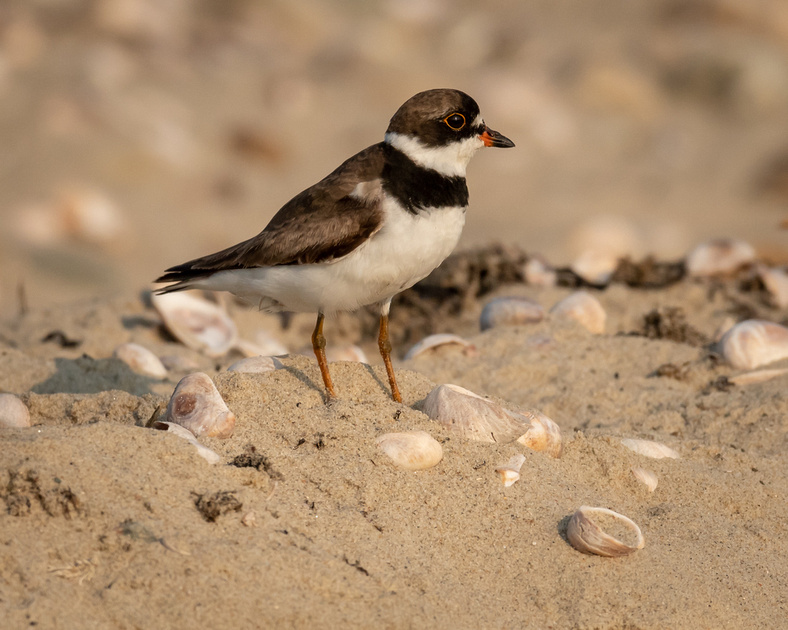 PLOVERS: Semipalmated Plover