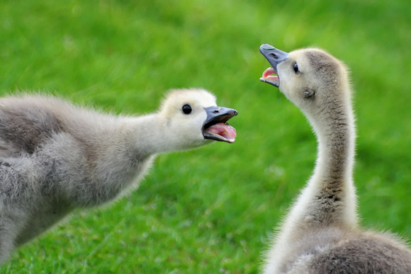 GEESE: Canada Goose (Gosling)