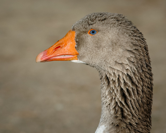 GEESE: Domestic Goose