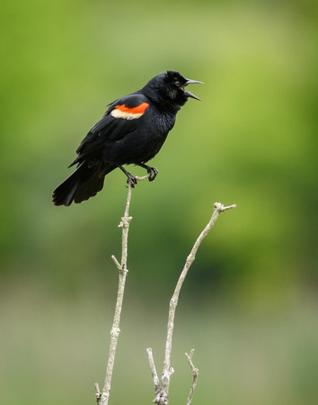BLACKBIRDS: Red-Winged Blackbird