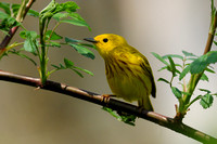 WARBLERS: Yellow Warbler