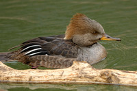 MERGANSERS: Hooded Merganser