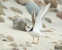PLOVERS: Piping Plover
