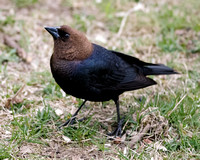 BLACKBIRDS: Brown-headed Cowbird