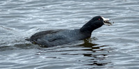 COOTS: American Coot