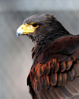 HAWKS: Harris Hawk