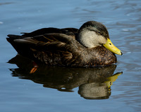 DUCKS: American Black Duck